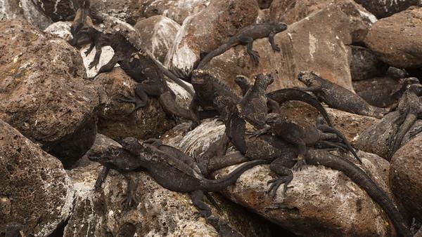 Marine Iguana, Amblyrhynchus cristatus. Isla Lobos, Galápagos.
