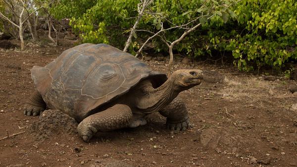 Giant Tortoise,  Geochelone elephantopus. San Cristobal, Galápagos.