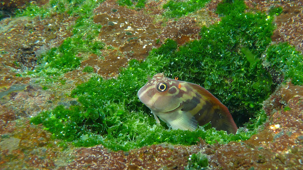 Large banded Blenny, Ophioblennius steindachneri. Santiago Is. Galapagos.
