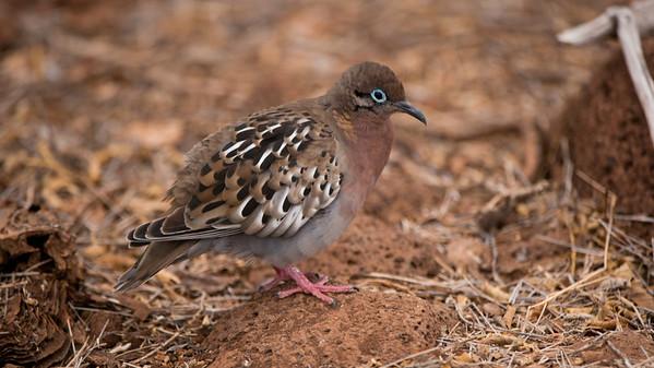 Galapagos Dove, Zenaida galapagoensis. North Seymour Is. Galápagos.