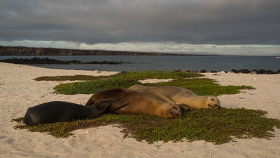 Galápagos Sealion, Zalophus wollebaeki. Mosquera Is. Galápagos.