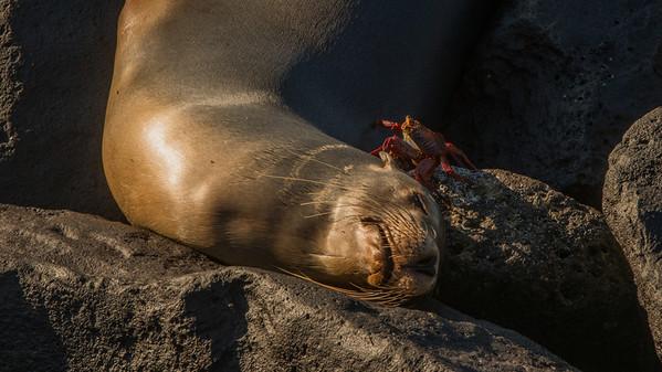 Sealion with Sally Lightfoot Crab. San Cristobal, Galápagos.
