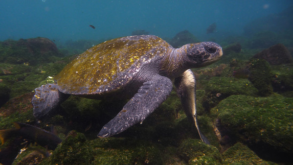 Pacific Green Turtle, Chelonia mydas agassisi
