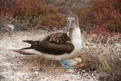 Footed Booby, Sula nebouxii. North Seymour Is. Galápagos.