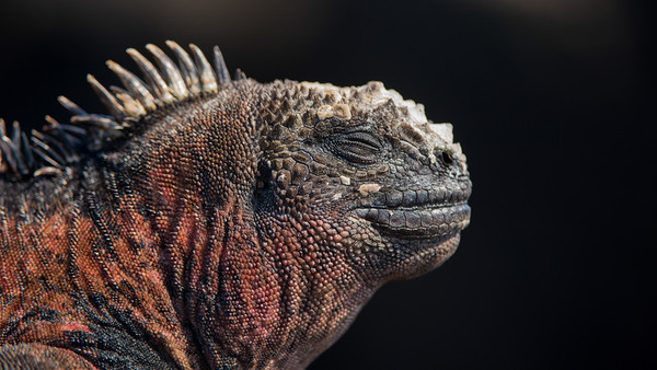 Marine Iguana, Amblyrhynchus cristatus. Floriana Is. Galápagos.
