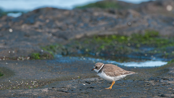 Semipalmated Plover, Calidris pusilla. Egas Port, Santiago Is. Galápagos.