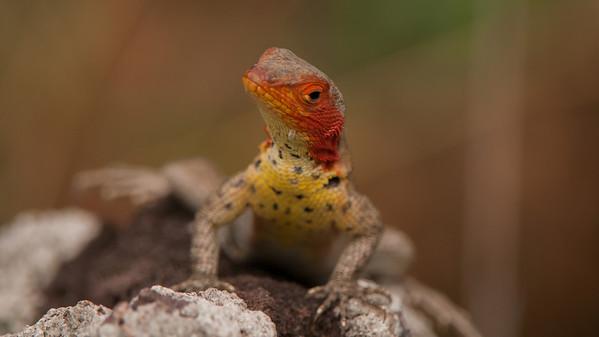 Lava Lizzard, Microlophus albermarlensis. Espumilla Beach Santiago Is. Galápagos.