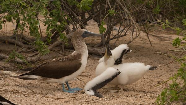 Bue-Footed Booby, Sula nebouxii. Isla Lobos, Galápagos.