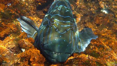 Hieroglyphic Hawkfish, Cirrhitus riulatus. Rabida Is. Galápagos.