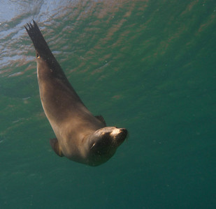 Galápagos Sealion, Zalophus wollebaeki. Floreana Is. Galápagos.