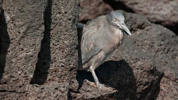 Lava Heron, Butorides sundevalli. Egas Port, Santiago Is. Galápagos.
