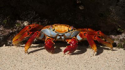 Sally Lightfoot-Crab, Grapsus grapsus. Sombrero Chino Is. Galápagos.