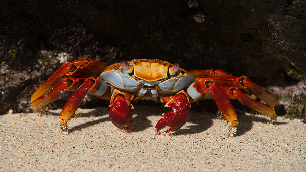 Sally Lightfoot-Crab, Grapsus grapsus. Sombrero Chino Is. Galápagos.