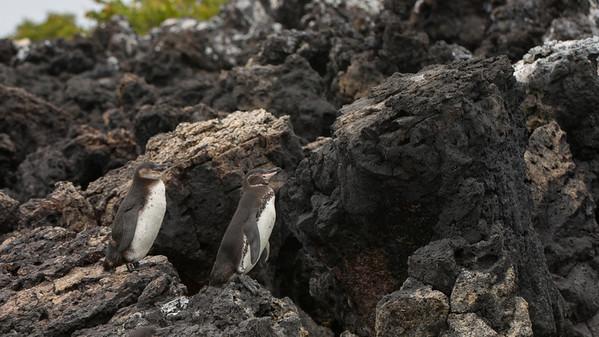 Galápagos Penguin Spheniscus mendiculus. Isabela Is. Galápagos.