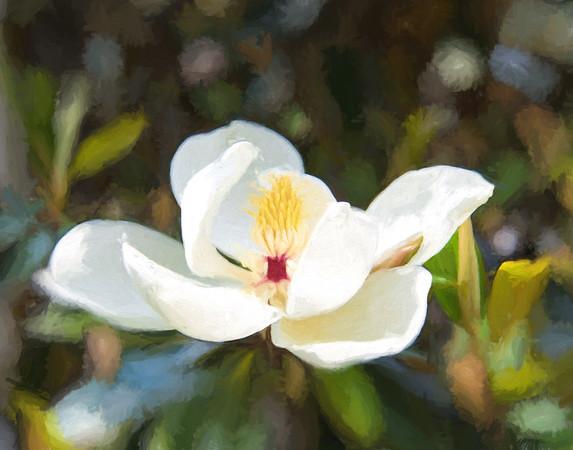 Lone Magnolia II
