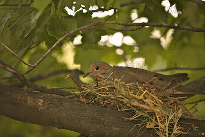 Mourning Dove (Zenaida macroura) sitting on eggs in a maple tree.