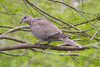 Eurasian Collared Dove (Streptopelia decaocto) sitting in a tree.