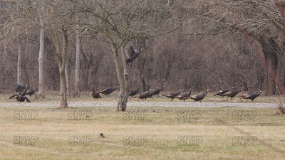 Wild Turkeys (Meleagris gallopavo).