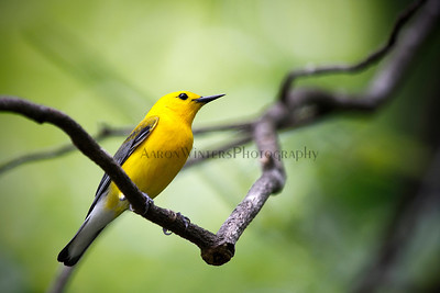 Prothonotary warbler on a stick 2012
