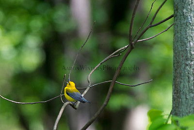 Prothonotary Warbler 2012