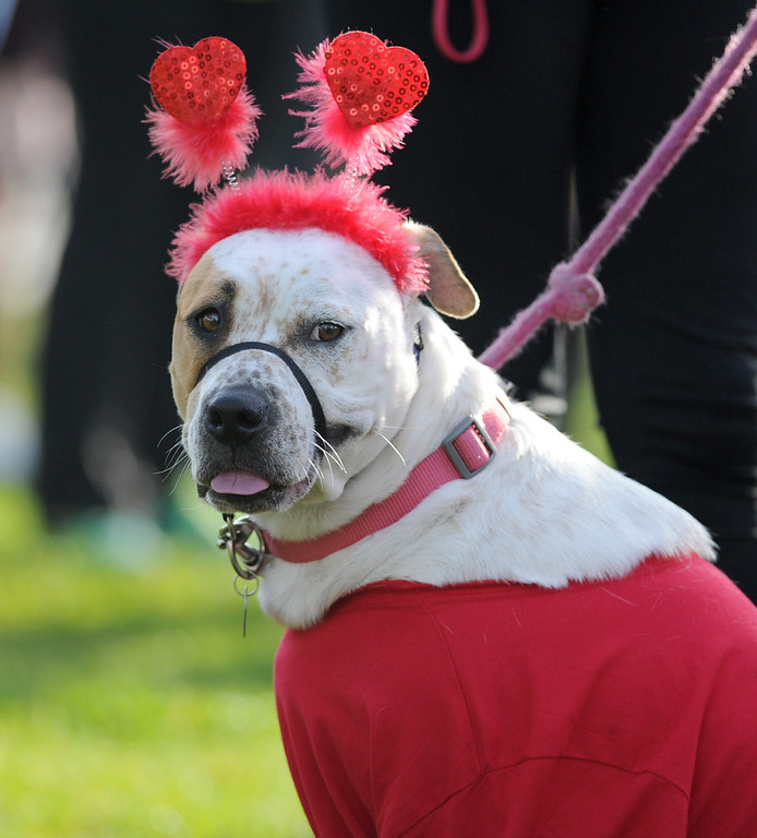 . Molly dresses up to support to support the cause at the Greater Los Angeles Heart Walk at Rainbow Lagoon Park in Long Beach , CA. on Sunday, November 10, 2013. (Photo by Sean Hiller/Press Telegram).