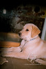 Higgins-puppy_9562