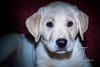 Higgins-puppy_9577-2