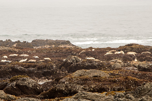 Lots of seals...and some baby seals...basking...
