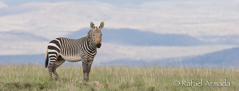 Cape Mountain Zebra (Equus zebra zebra)<br /> Zebra Mountain NP (South Africa), December 2005