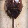 sn736. Iron Lustre Horseshoe Crab