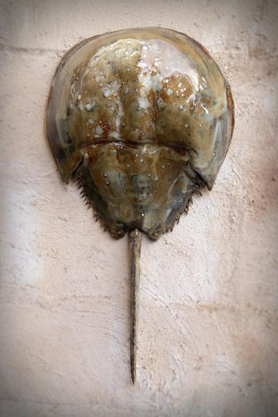 sn754.  Brown & White Foam Horseshoe Crab