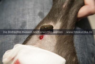 Hund wird mit Blutegeln behandelt