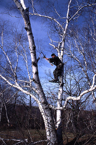 Bowhunter using a recurve bow waits in tree stand mounted in a birch tree for a shot at a whitetail deer in Minnesota.