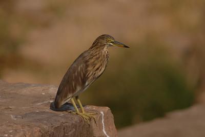 Indian Pond-Heron Ardeola grayii