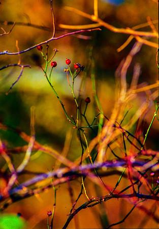 berry-bush