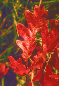 oak-leaf-2