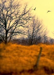 goose-flyover