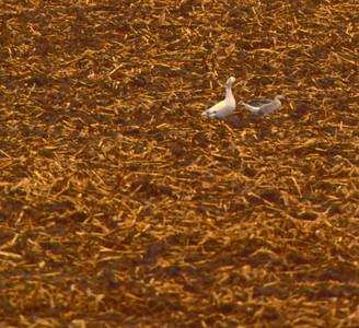 corn-stubbel-goose