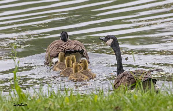 5MAY20 goose family II