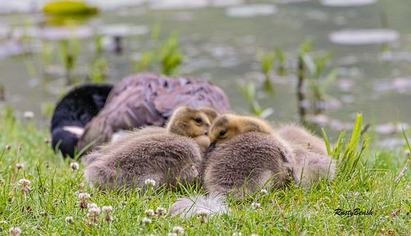 Canadian chicks