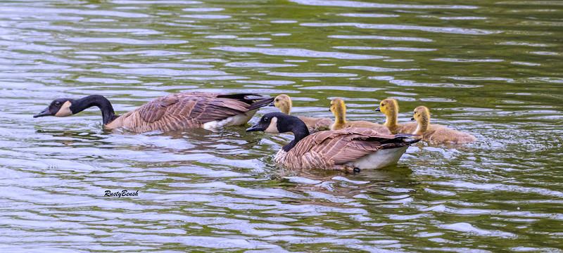5MAY20 geese making waves