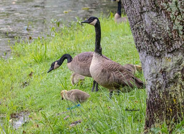 5MAY20 goose lookouts II
