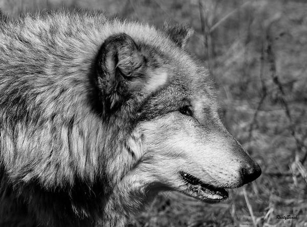 Feb 2018 Wolf Park-21
