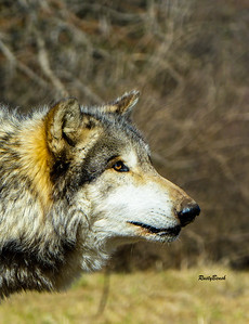 Feb 2018 Wolf Park-10