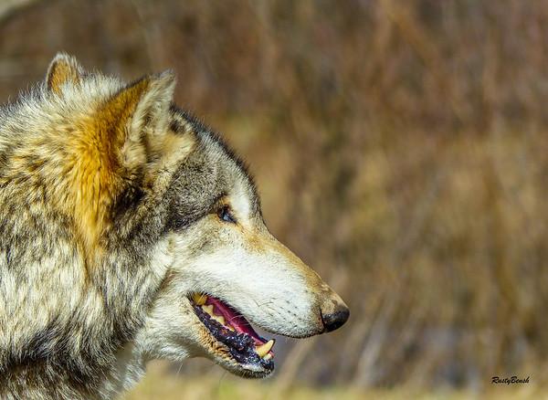 Feb 2018 Wolf Park-22