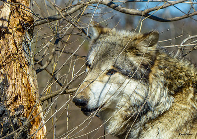 Feb 2018 Wolf Park-20