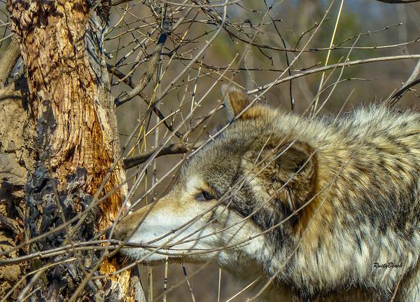 Feb 2018 Wolf Park-19
