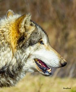 Feb 2018 Wolf Park-11