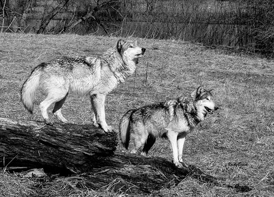 Feb 2018 Wolf Park-18