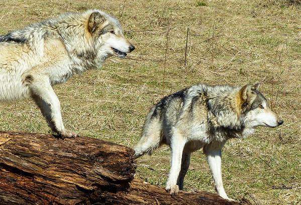 Feb 2018 Wolf Park-16